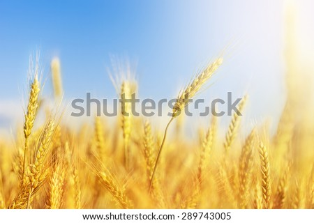 Cropped image of a wheat crop with the sky blurred in the background #289743005