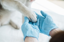 cropped image of veterinarian in latex gloves examining dog paw