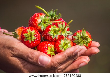 Cropped image of woman's hands holding a bunch of strawberries. Female holding a handful of fresh strawberries after harvest from garden. #752120488