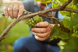 Cropped photo of a hard-working man using secateurs for cutting off grapes off the vine