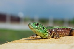 Cropped shot of beautiful small lizard on wooden background, horizontal view. Animals, wildlife, reptiles concept.