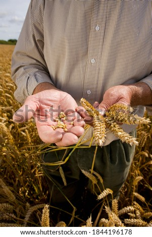 Cropped shot of farmers hands examining wheat standing in a wheat field with a golf hat on his head.