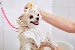 cropped skilled groomer carefully wash the dog in bath, before grooming procedure. little puppy spitz get used to such procedures, dog pet behaves calmly in contact with water