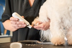 Cropped view of the female groomer doing haircut for cute white maltipoo on the table for grooming in the beauty salon for dogs. Process of final shearing of a dog's claws with special tool