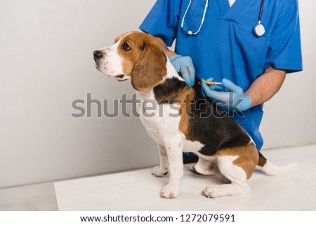 cropped view of veterinarian in blue coat microchipping beagle dog with syringe