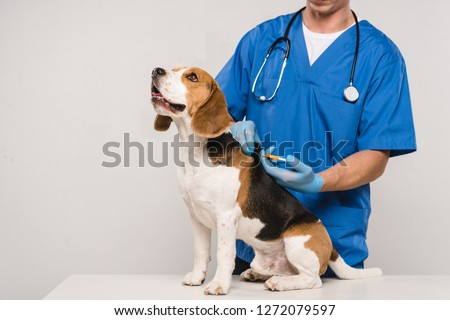 cropped view of veterinarian microchipping beagle dog with syringe isolated on grey