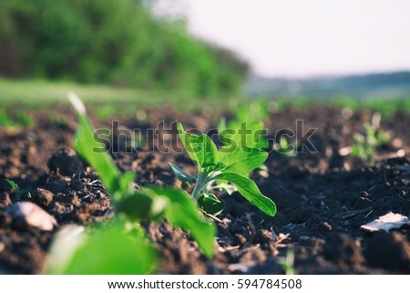 Crops planted in rich soil get ripe under sun.Plants sprout grow in black dirt.Cultivated land close up.Agricultural background.Natural organic food farm.Green vegetarian foods growing in rural fields
