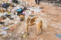 Cross breed Dog on waste site.Wanderer dog searching food on waste disposal site.