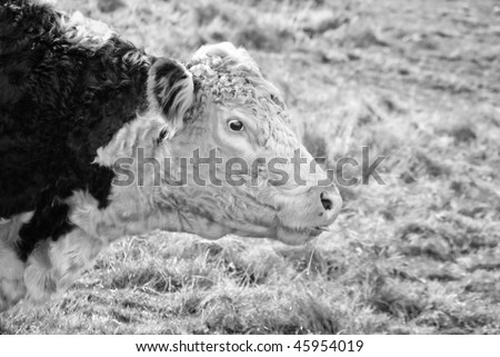 Cross eyed cow sticking out tongue and drooling. Black and white photograph