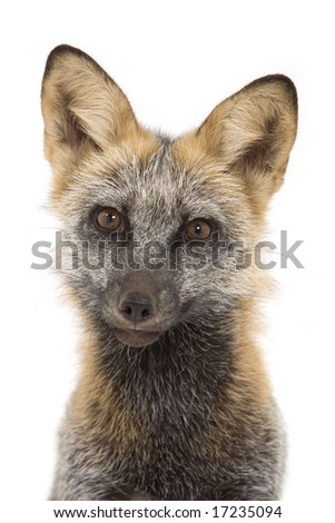Cross fox isolated on a white background
