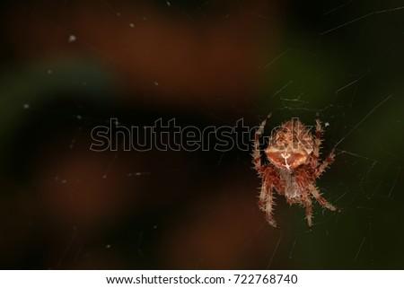 Cross orb-weaver spider #722768740