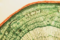 Cross section- cellular components wood cambium cells- heartwood and sapwood. Scientific research; plant tissue molecules magnification. Duramen- formation of growth rings of plant