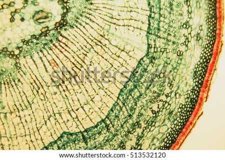 Cross section- cellular components wood cambium cells- heartwood and sapwood. Scientific research; plant tissue molecules magnification. Duramen- formation of growth rings of plant #513532120