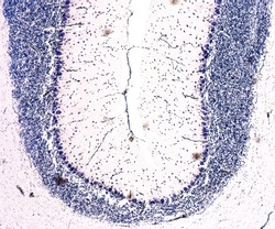 Cross section of a cerebellum. Light micrograph. Cresyl Violet Staining (Nissl Staining).