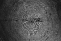 Cross section of a tree trunk in black and white