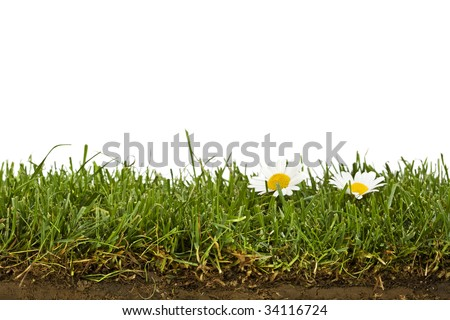 cross-section of grass sod with daisies isolated on white