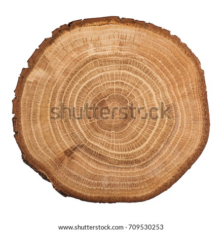 Cross section of oak grove tree trunk showing growth rings isolated on white background. #709530253