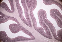 Cross section of the Cerebellum and Nerve human under the microscope for education in Lab.