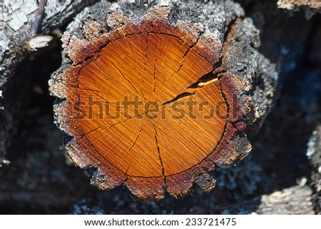 Cross Section of Tree Trunk  - Cross section of oak tree trunk showing the age of the tree rings and cracks in the wood and bark