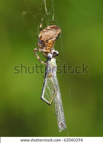 Cross Spider (Araneus diadematus) eating a Small Spreadwing (Lestes virens)