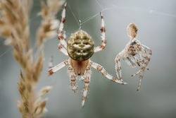 Cross spider female and partly eaten male
