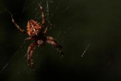 cross spider in the dark