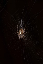Cross spider on a web on a black background macro photography. European garden spider waiting for prey close-up photo.