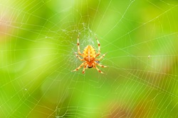 Cross spider sitting on web - green colorful background