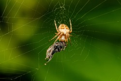 Cross spider tasting its fly. The spider species Araneus diadematus is commonly called the European garden spider
