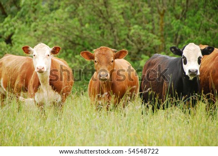 crossbred cattle in a wet field