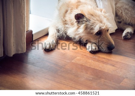 Crossbreed beige terrier lay on the floor in the room #458861521