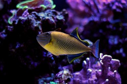 Crosshatch Triggerfish (Xanthichthys mento)