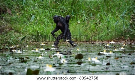 Crossing. The chimpanzee - Bonobo goes on water through a pond with a small cub on a back.