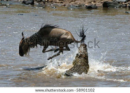 Crossing through the river Mara.The antelope has undergone to an attack of a crocodile./ On a hair from death.