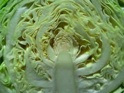 Crosssection of a cabbage delineates a different texture greenish and whitish in colour