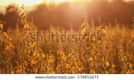 Crotalaria flowers. Beautiful yellow flowers.selective focus.vintage tone.lowkeylight. #578852671