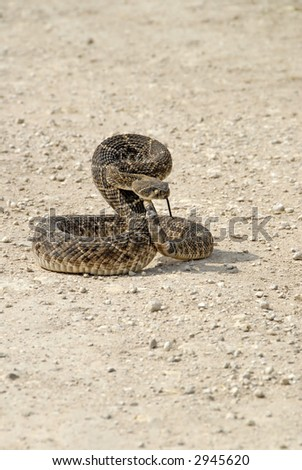 Crotalus atrox-Diamondback rattlesnake coiled to strike on dirt road.