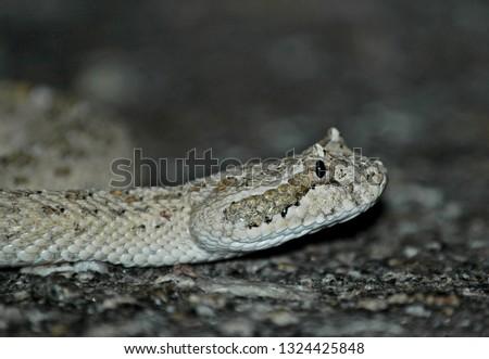 Crotalus cerastes sidewinder rattlesnake closeup