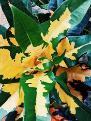 croton is a popular garden ornamental plant with a wide variety of leaf shapes and colors. Various cultivars have variety of beautiful colors from green, yellow, orange, red, purple, mixtures colors