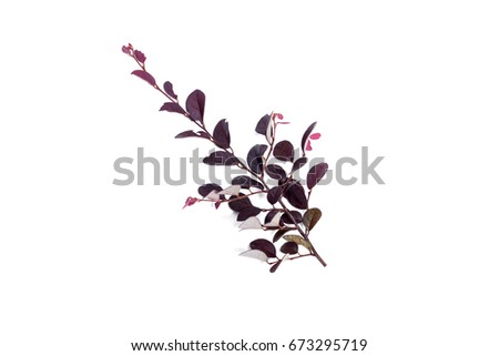 croton leaf isolated on white background.Violet leaves plant. #673295719