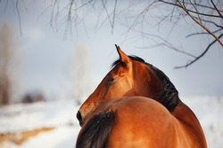 croup and head of a bay horse from the back against a snow-covered field