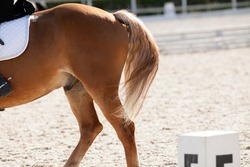 Croup of a red horse with a moving tail and a rider riding on it. Equestrian sport.