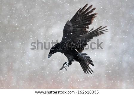 crow - stock photo