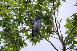 crow among tree branches and leaves, wet in the rain, raven - bird, plane tree