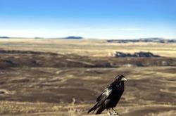 Crow at the Painted Desert at Petrified Forest National Park, Arizona  Animal / Bird / Crow /  Raven / Arizona / Desert Background / Las Vegas / Utah / New Mexico Background
