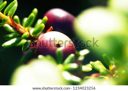 Crow berries (Empetrum nigrum) in the process of maturation. Macro photograph in the coastal tundra, forest-tundra of the White sea