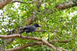 Crow billed, large billed crow, name: Corvus macrorhynchos Means a crow with a big mouth The crow stands on a tree in the park to look for food.
