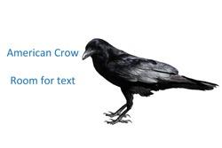crow. black crow. american black crow bird.
