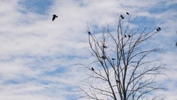 Crow crowd Ravens fly and sit over leafless trees Flock of crows in the Natural on blue sky and clouds background Birds is standing on the tree Crows group animals group Birds gathering Bird migration