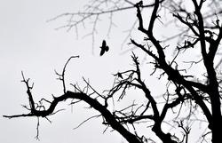 Crow flies over wood